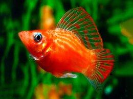 Аквариумные рыбки - Моллинезия оранжево-красная парусная, 0