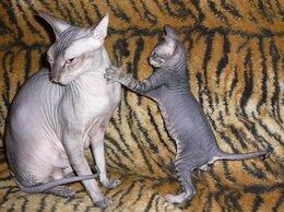 Кошки - Продам котят Канадский сфинкс, 0