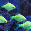 Барбус Гонконг зеленый Глофиш по цене 180₽ - Аквариумные рыбки, фото 1