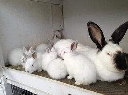 Кролики - Калифорнийские кролики специализированной мясной…, 0