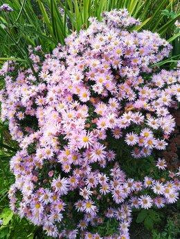 Рассада, саженцы, кустарники, деревья - Астра многолетняя Вудс Пёрпл из своего сада, 0