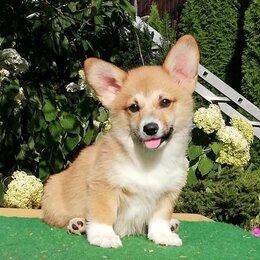 Собаки - Породные и красивые щенки Вельш Корги Пемброк., 0