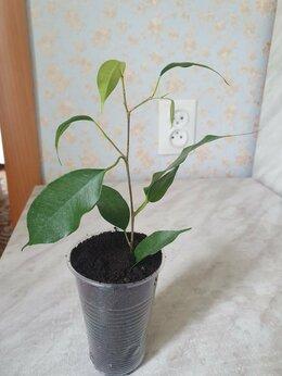 Комнатные растения - Фикус бенджамина , 0