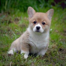 Собаки - Вельш Корги Пемброк - щенки, 0