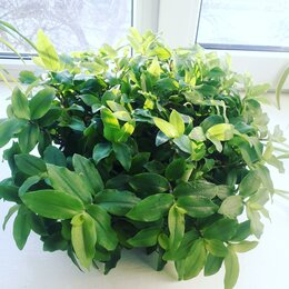 Комнатные растения - Традесканция, 0
