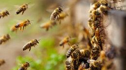 Сельскохозяйственные животные - Пчёлы, Пчелосемьи, пчелопакеты, пчеломатки 2020г., 0