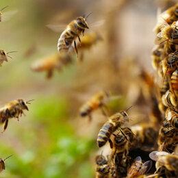 Сельскохозяйственные животные и птицы - Пчёлы, Пчелосемьи, пчелопакеты, пчеломатки 2020г., 0