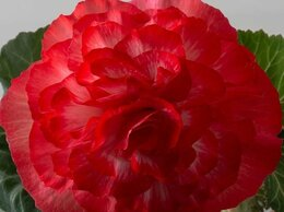 Комнатные растения - Крупноцветковые бегонии, 0