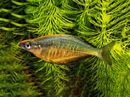 Аквариумные рыбки - Хилатерина радужница Фасциата Кали Биру, 0
