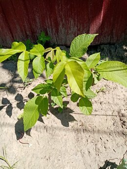 Рассада, саженцы, кустарники, деревья - Саженцы грецкого ореха, 0