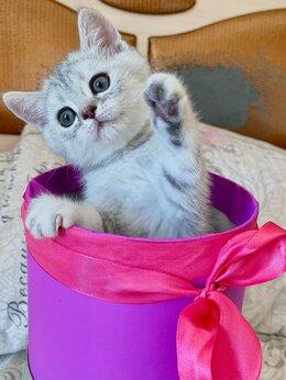Кошки - Шотландские котята мальчики (родители с анализами), 0