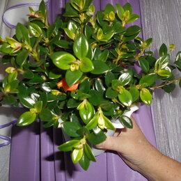 Комнатные растения - Нематантус, 0