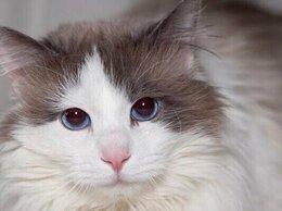 Кошки - Синеглазого красавца бросили в ветклинике..., 0