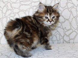 Кошки - Котёнок курильский бобтейл , 0