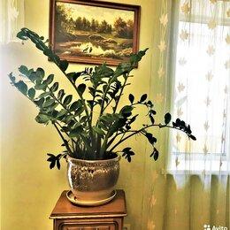 Комнатные растения - Долларовое дерево - Замиокулькас, 0