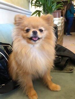 Животные - Пропала собака Померанский шпиц, 0