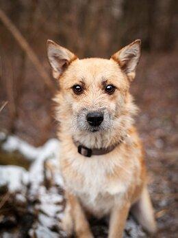 Собаки - Цери - собака породы Красивый терьер, 0