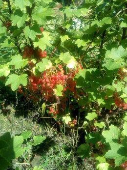 Рассада, саженцы, кустарники, деревья - Саженцы розовой смородины, малины, белой сирени, 0