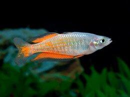 Аквариумные рыбки - Меланотения радужница Паркинсона, 0