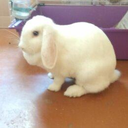 Кролики - Даром.Вислоухий кролик Филя,срочно в добрые руки, 0
