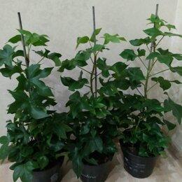 Комнатные растения - Фатсхедера, 0
