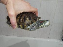 Рептилии - Отдам черепаху, 0