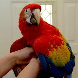 Птицы - Попугай красный ара - птенцы выкормыши из…, 0