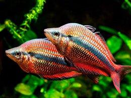 Аквариумные рыбки - Меланотения радужница трехполосая, 0