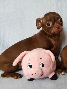 Собаки - Девочки чихуа 3 месяца, 0