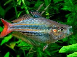 Аквариумные рыбки - Меланотения радужница австралийская, 0
