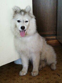 Собаки - Сибирская хаски, 0