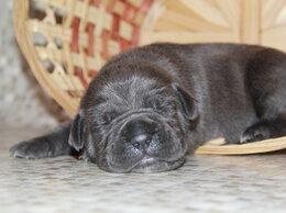 Собаки - Три серые девочки кане корсо, 0
