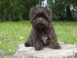Собаки - Шоколадный йорк, 0