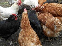 Сельскохозяйственные животные - Куры несушки молодые,цыплята…, 0