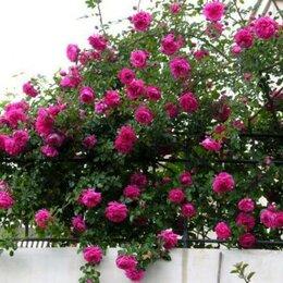 Рассада, саженцы, кустарники, деревья - Роза плетистая Лагуна (laguna Kordes), 0