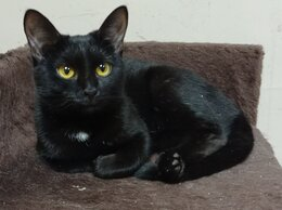 Кошки - Котенок Арабика, девочка 8 месяцев, 0