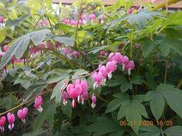 Рассада, саженцы, кустарники, деревья - Продать саженцы многолетних цветов, 0