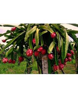 Комнатные растения - Питахайя плодоносящий кактус, 0