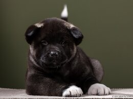 Собаки - Щенки американской акиты, 0