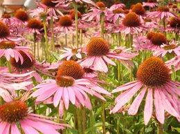 Рассада, саженцы, кустарники, деревья - Эхиноцея пурпурная, 0