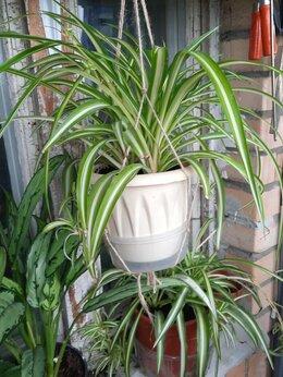 Комнатные растения - Хлорофитум Хохлатый, 0
