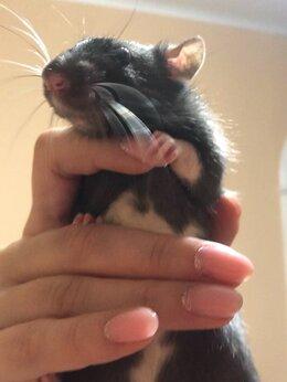 Грызуны - Крыса декоративная , 0