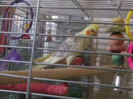 Птицы - Домашние попугаи корелла , 0