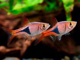 Аквариумные рыбки - Расбора клинопятнистая, 0