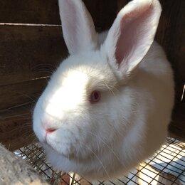 Кролики - Кролики взрослые нзб, 0