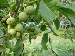 Рассада, саженцы, кустарники, деревья - орех садко и др. саженцы 3х лет, 0