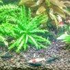 Креветки Green Jade Extreme темно Зеленые неокаридинаы, чистая Германская линия по цене 150₽ - Аквариумные рыбки, фото 8
