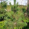 Кедр сибирский по цене 1500₽ - Рассада, саженцы, кустарники, деревья, фото 0