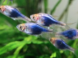 Аквариумные рыбки - Расбора клинопятнистая синяя, 0