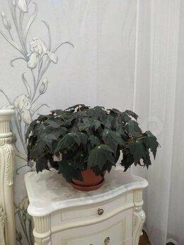 Комнатные растения - огромная бегония черный клык, 0